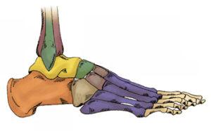 anatomia del piede