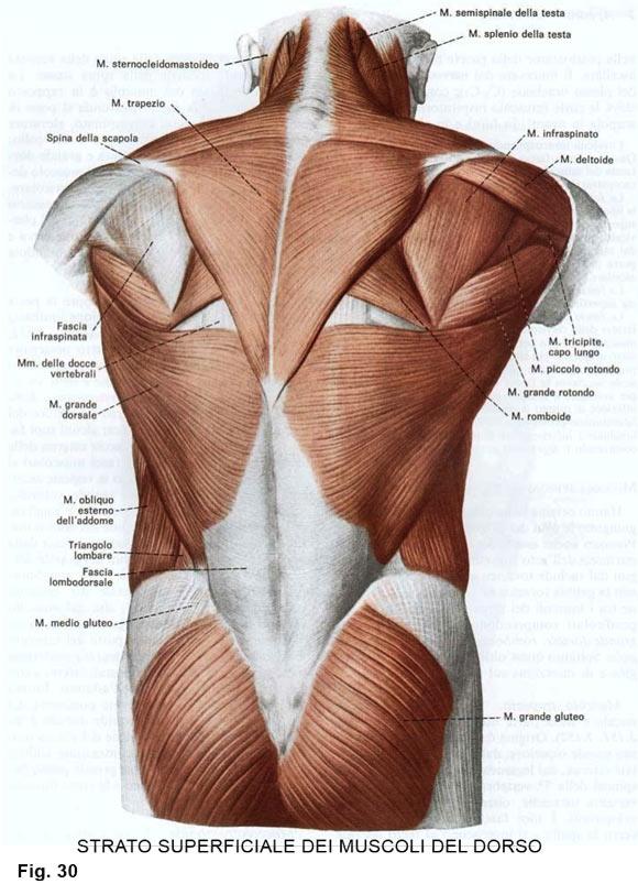 muscoli della spalla