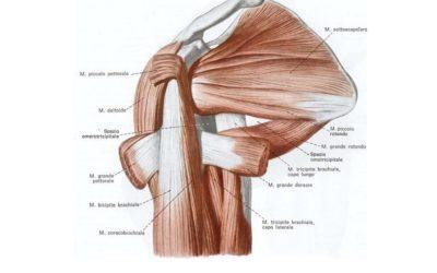 I Muscoli della Spalla